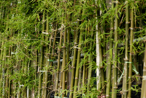 Poster Bamboe green bamboo trees