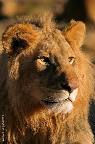 Fototapety, obrazy:  big male lion