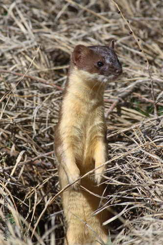 Photo  long-tailed weasel