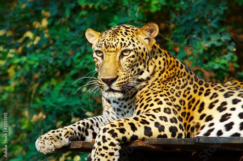 Papiers peints Leopard leopard cat