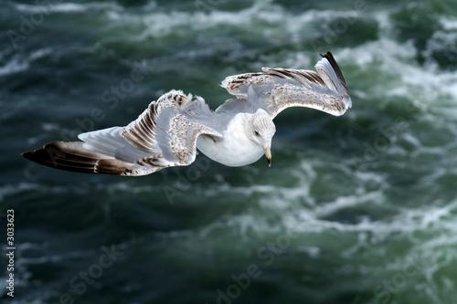 Fotografie, Obraz  Closeup of wandering albatross across ocean