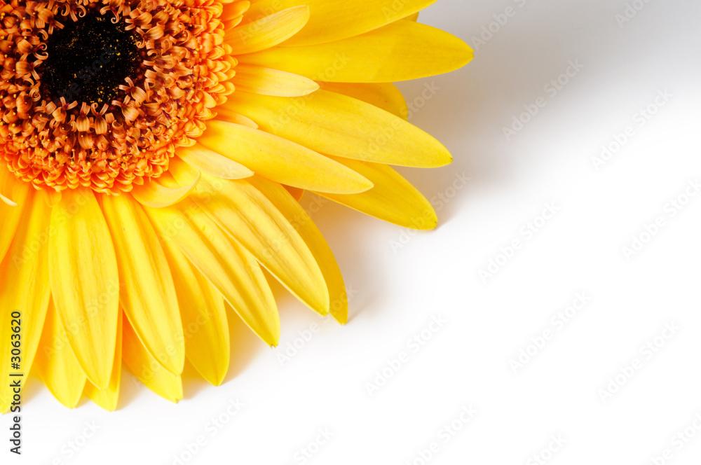 yellow sunflower on white