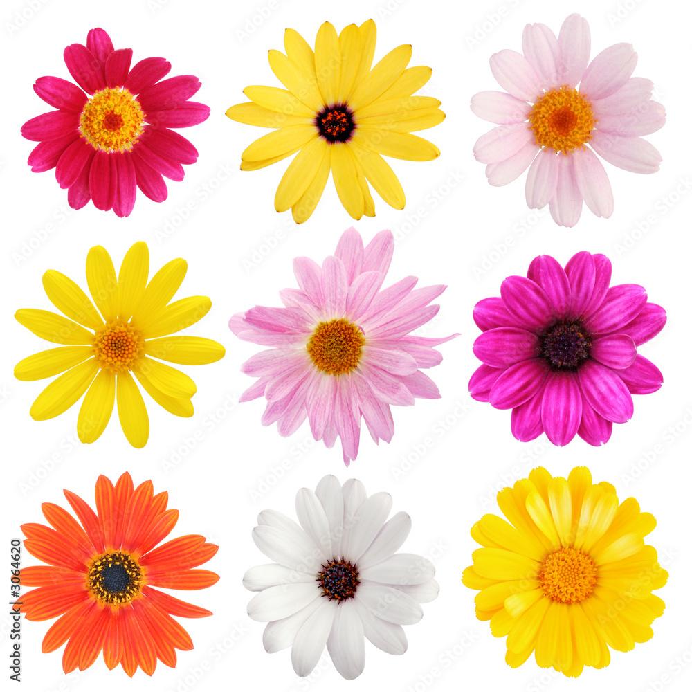 Fototapety, obrazy: daisy collection