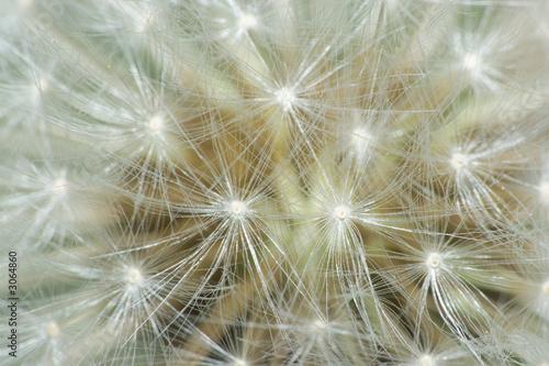 Obraz w ramie dandelion makro