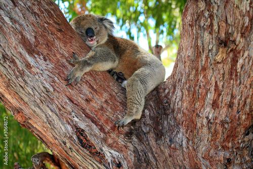 Garden Poster Koala australien_07_ 0167