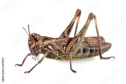 Carta da parati grasshopper