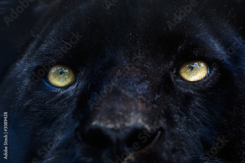 Canvas Prints Panther black panther