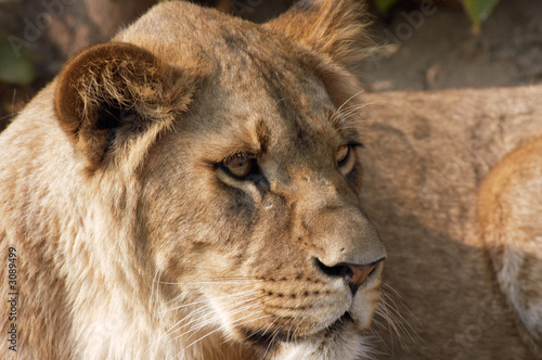 Fototapety, obrazy: female lion