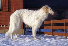 Thoroughbred Borzoi Dog