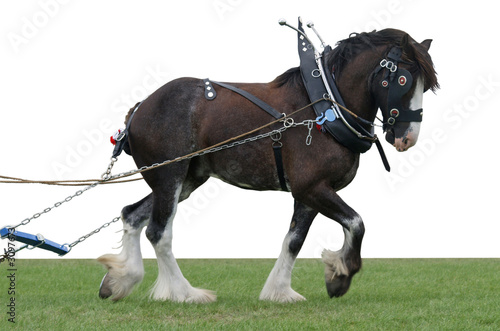 clydesdale in harness Canvas-taulu