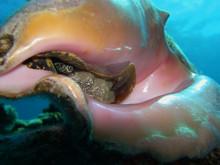 Conch Inside Shell