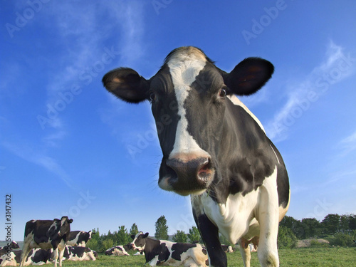 Wall Murals Cow dairy cows