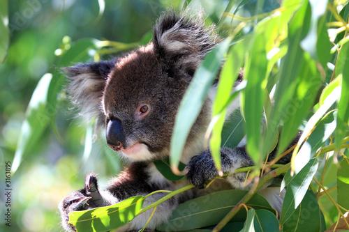 Garden Poster Koala australien_07_ 0205,02