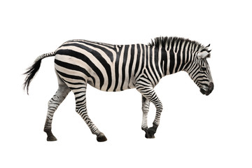Panel Szklany Zebry zebra