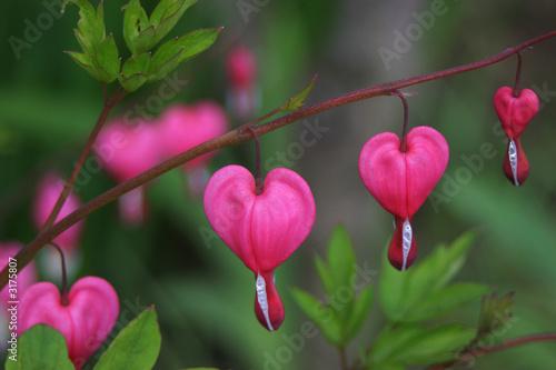 Cuadros en Lienzo bleeding heart flower