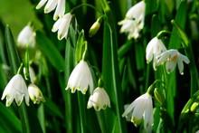 Snowflake Flowers Leucojum