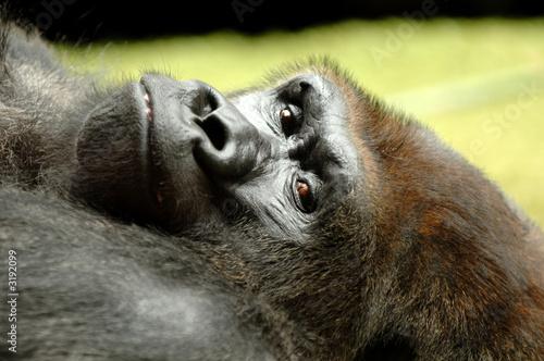 Photo  resting ape