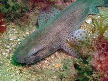 Roussette (scyliorhinus Canicula)