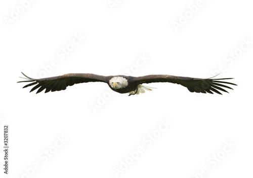 Poster Aigle bald eagle cut out
