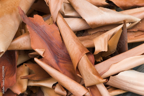 Photo arbutus bark curls