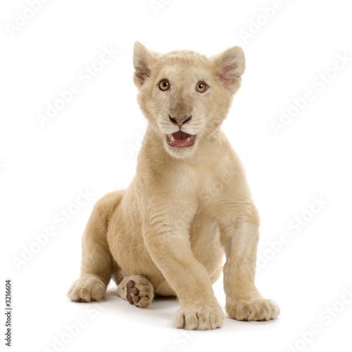 Poster Puma lionceau blanc (5 mois)