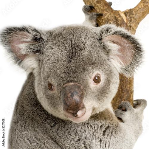Naklejki koala  koala