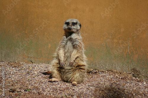 Photo  mangouste suricate