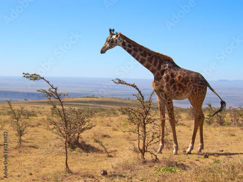 one wild giraffe, serengeti park, tanzania Canvas Print