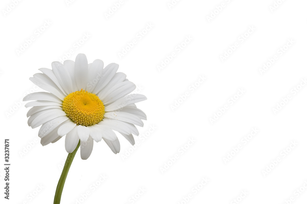 Fototapeta weiße margerite