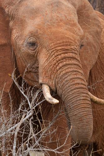 Foto auf Leinwand African elephant feeding