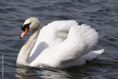 Poster Cygne mute swan