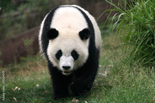Fotomural panda