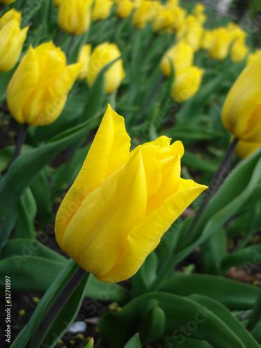 zolte-tulipany-w-parku