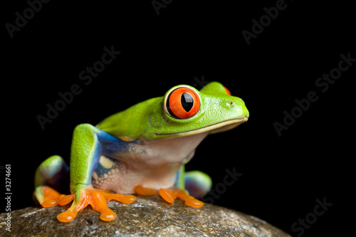 Tuinposter Kikker frog on a rock