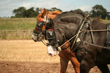 Close Up Of Working Shire Horses