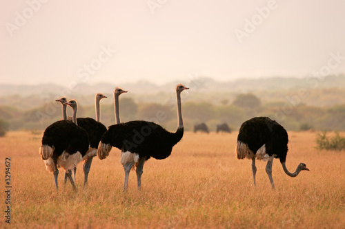 La pose en embrasure Autruche ostriches