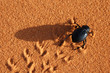 Leinwandbild Motiv black beetle on the sand
