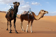 Leinwanddruck Bild camels in the sahara desert