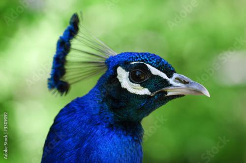 Photo Stands Ostrich blauer pfau - kopf