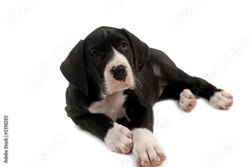 Fototapeta great dane puppy obraz