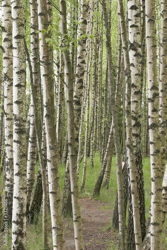 Photo  birch forest