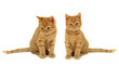 canvas print picture twin kittens