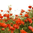 canvas print picture coquelicots