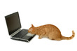 canvas print picture cat is looking at laptop