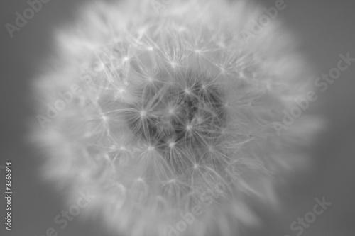 Obraz premium czarno-biały mniszek lekarski