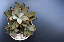 Hairy Succulent Plant