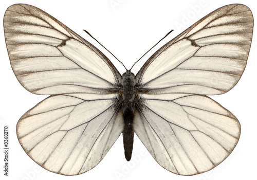 Photo white magnificent butterfly aporia