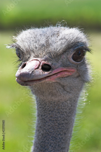 Stickers pour porte Autruche african ostrich head close-up over green backgroun