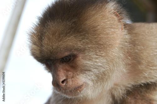 Photo  pensive monkey