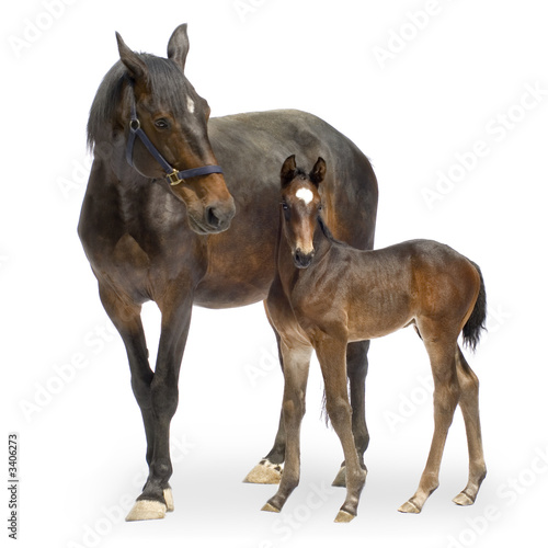 Tela mare with her foal (12 days)